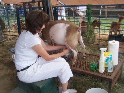 goat milking tips!  :): Chicken, Milking Goats, Goats Milk, Farm Goats, Dairy Goats, Dwarf Nigerian Goats, Goats Sheep, Go Go Goats, Goats Nigerians