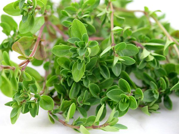 (Thymus pulegioides) Perennial. (Also known as creeping thyme) Spreading perennial that forms thick mats