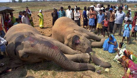 Gestorven olifanten