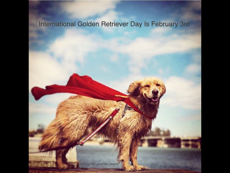 A (very brief) history of International Golden Retriever Day
