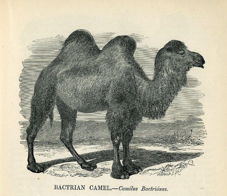 Vintage Clip Art - Lovely Camels | Antique Animals