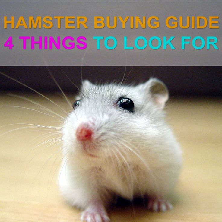 Found the perfect hamster with this 4-step buying guide!