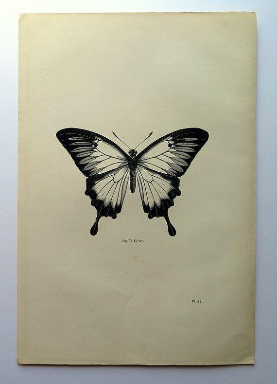 1860 Antique Ulysses butterfly print vintage by LyraNebulaPrints