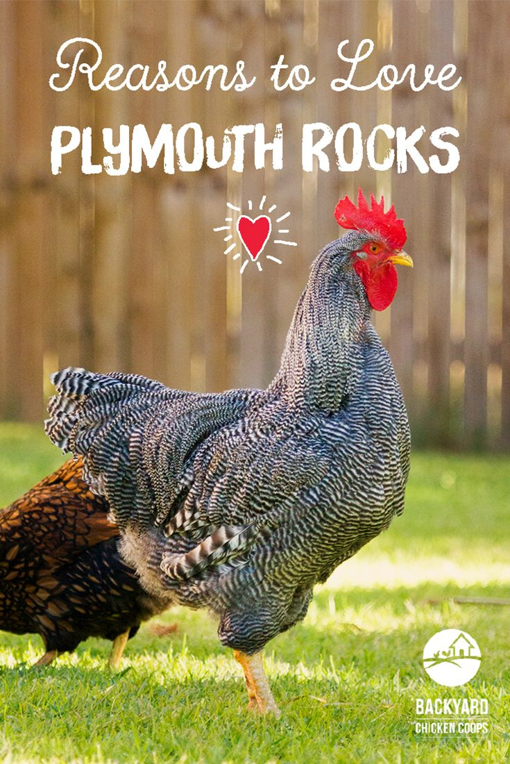 Plymouth Rock chickens make great additions to any backyard. They are super calm chooks and love a good snuggle and scratch. You can't help but love them! Here are 5 reasons to love these egg-straordinary creatures, http://www.backyardchickencoops.com.au/5-reasons-to-love-plymouth-rock-chickens #loveyourchickens #love #plymouthrockchickens