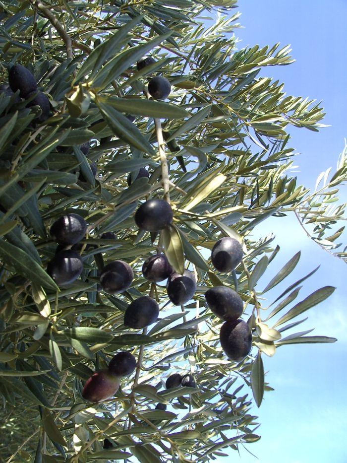 Olivenbaum Pflanzen  Pflanzen Olivenbaum With Olivenbaum