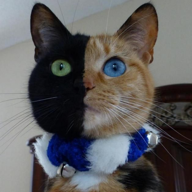Best Venus The TwoFaced Cat Images On Pinterest Cats Colors - Venus cat two faces making twice adorable