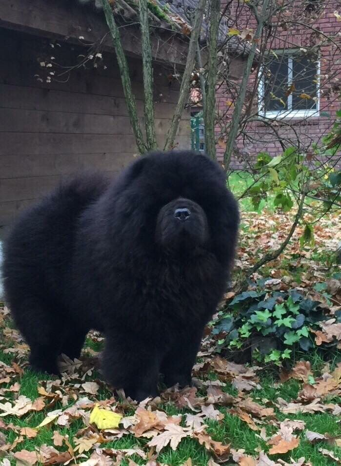 Beautiful Chow Chow Blackness Darkness Amazing Dog