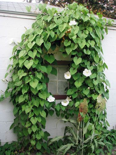 A night-blooming species of morning glory, Moonflower features fragrant white flowers that open from sundown to sunup, midsummer to early autumn. SO COOL!