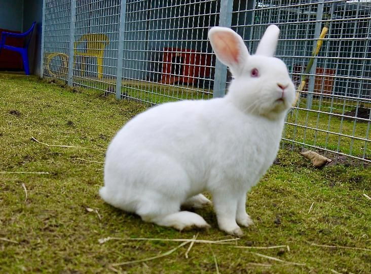 Aldo Find A Pet Rspca Org Uk Animals Pets White Rabbits