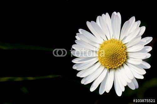 Daisy, little flower of field