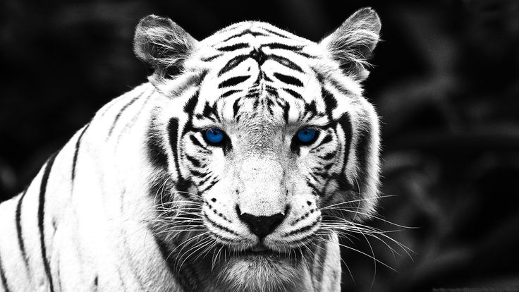 Download Tigers Black and White HD Wallpapers for your desktop, only for FREE from the most High Quality resolution size of our Widescreen Wallpapers Stock collection.