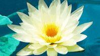 How to Grow a Lotus Plant Inside a Home   eHow