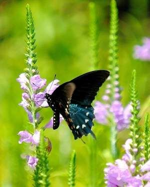 17 Best images about Garden Butterfly Hummingbird on