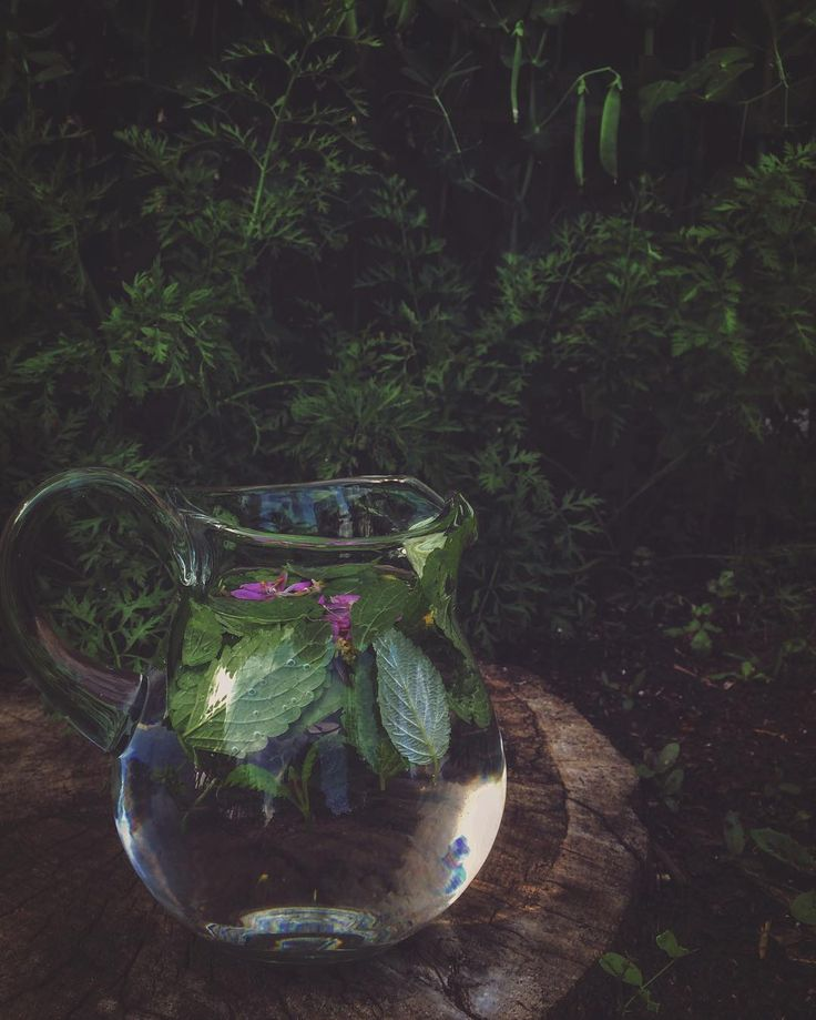 Lemon Balm and English thyme from the garden along with wildcrafted mint, raspberry leaf, and the flowers of fireweed, goldenrod and Saskatoon. I add water and let the herbs sit infusing all day in the sun amidst the gardens foliage🌞I love both solar and Lunar herbal Infusions and summer time garden and wildcrafting makes it so easy with endless combinations of botanicals. Doing this adds much beauty, medicine and creativity to my day🌿 #wildcraft #hedgewitch #solarinfusion #suntea…