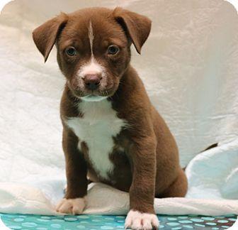 Bedminster, NJ - American Pit Bull Terrier/Border Collie Mix. Meet Madden, a puppy for adoption. http://www.adoptapet.com/pet/17884393-bedminster-new-jersey-american-pit-bull-terrier-mix