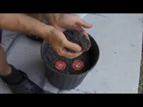 Простой способ как вырастить рассаду помидоров