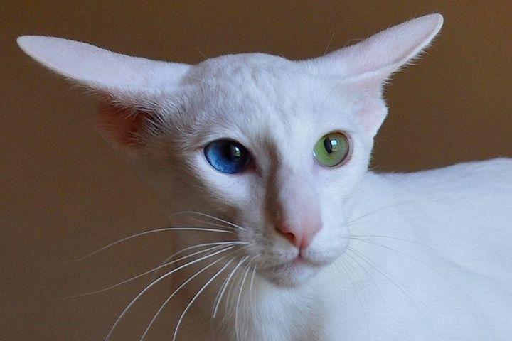 Weisser Arbeitsschutz Mit Seltsamen Augen Arbeitsschutz Augen Seltsamen Oriental Cat Gorgeous Cats Oriental Shorthair Cats