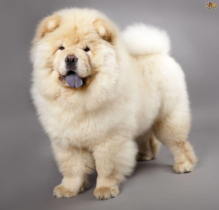 Cream Chow Chow DOg