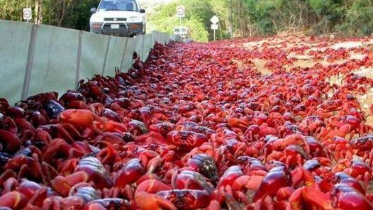 Cangrejos en Isla de Navidad, Australia Pocos espectáculos de vida silvestre tan impactante como millones de criaturas moviéndose a la vez. Y encima, en una pequeña porción de tierra, de 19 kilómetros de largo. Sucede en esta isla australiana cada año, cuando al menos 40 millones de cangrejos rojos migran desde sus madrigueras