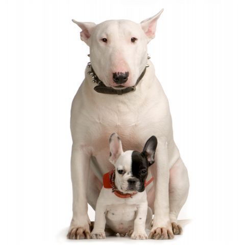 english bull terrier pictures | bull terrier - English bull terriers Photo (2108316) - Fanpop fanclubs