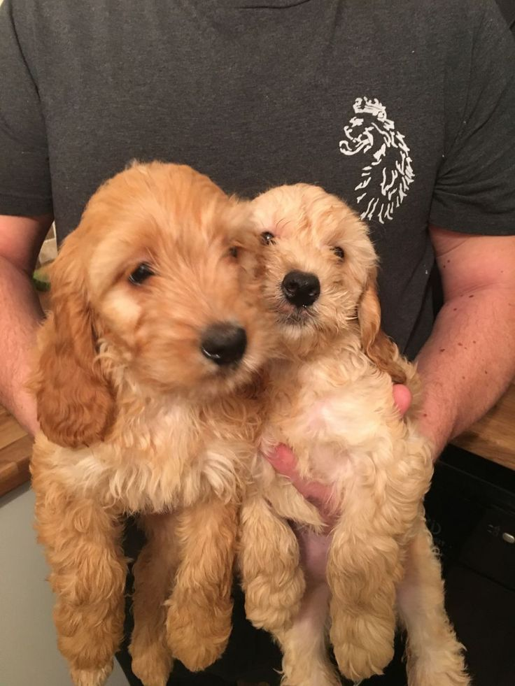 Show cockerpoo boy and girl 9 weeks old had there first injection and microchipped moms a cocker spaniel and dads a toy poodle from a loving family ho...