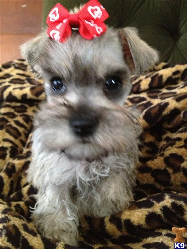 Miniature Schnauzer Rescue In Florida White Miniature
