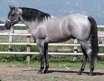 Gorgeous blue roan quarterhorse.