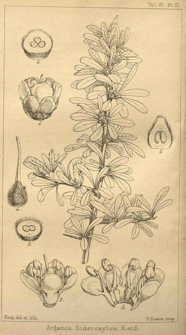 アルガン アカテツ科 Argania spinosa (argan tree),  Hooker's journal of botany and Kew Garden miscellany  (1854)