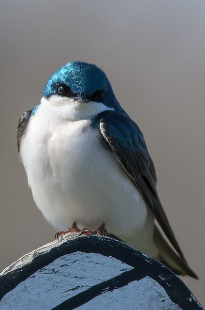 Tree Swallow ... oh how wonderful to see his sparkling blue feathers ~ thank you original pinner & original Creator!