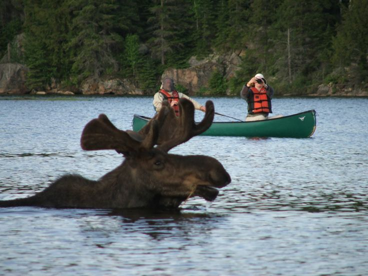 Moose in water. This scene is not uncommmon in the Kennebec Valley region of Maine, 'cause we got Moose!