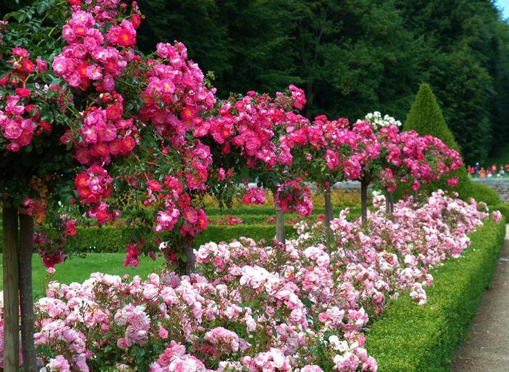 Партнеры для роз в миксбордерах. Подбор растений-партнёров для розы. Фото - Ботаничка.ru