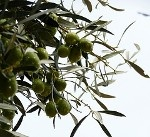 #greek #olives #flora #greece #plants #trees #groves    Olives from Mycene Peloponnese    photo via: Federica     http://www.flickr.com/photos/fede_gen88/4227540677/