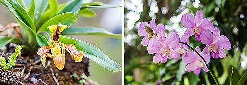 Пафиопедилум и фаленопсис