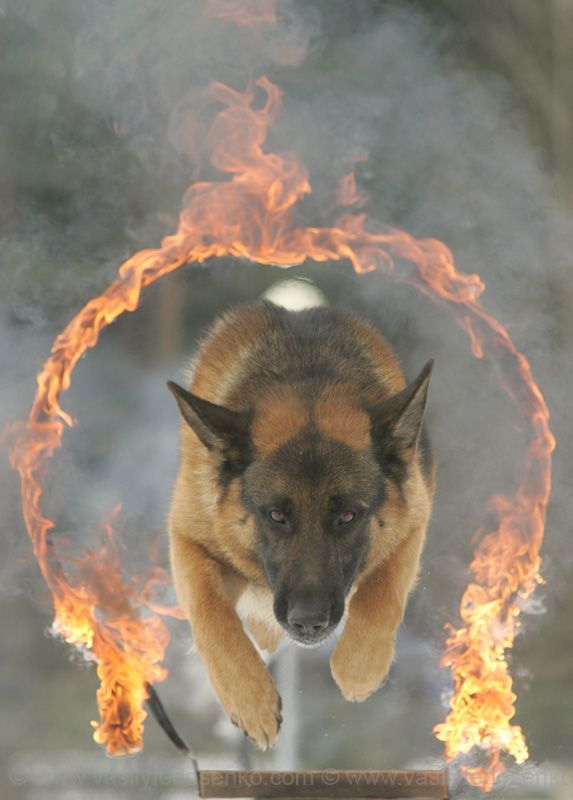 Police dog, Belarus. Wow, look at that concentration. - www.policemag.com