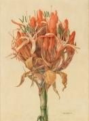 Gymea Lily - John Lewin
