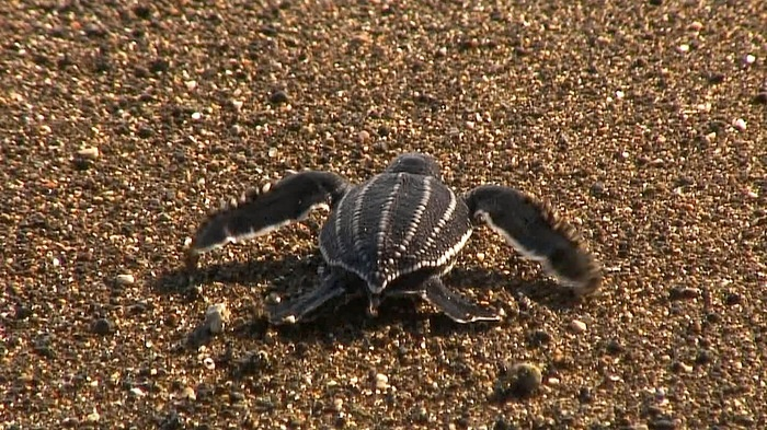Just hatched the night before, a penyu belimbing, leatherback sea turtle nears the Pacific Ocean. Photo by David Arthur.