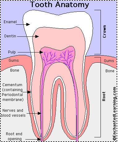 Tooth anatomy. Dr. Nicole Lambert Lambert Pediatric Dentistry | #NewYorkCity | #NY | www.tribecapediatricdental.com