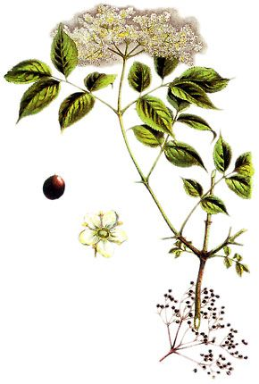 1000 images about elderberry botanical prints on. Black Bedroom Furniture Sets. Home Design Ideas