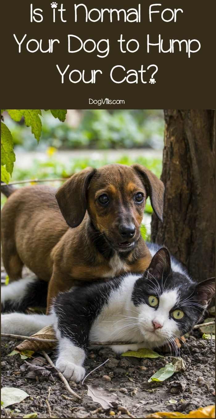 Why is your dog humping your cat? Find out what makes them do it, whether it is normal dog behavior and how you can put a stop to it!