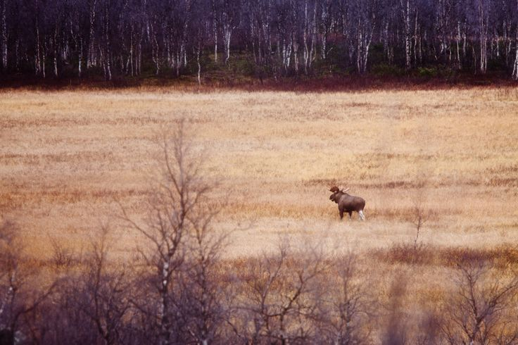 Tjaktjadálvve. It is time for oestrous and a majestic Sarek elk are in search of a mate. Photo: Carl-Johan Utsi.