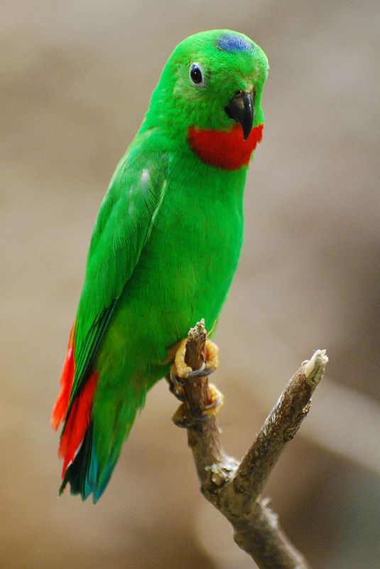 Blue-crowned hanging-parrot | by writhedhornbill