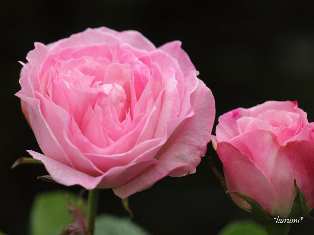 バラの種類まとめ 品種名 学名 特徴 色 香りなどを一覧でご紹介 2ページ目 botanica バラの育て方 バラの種類 バラ