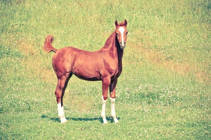 ROL Lervicks | Arabian Yearling