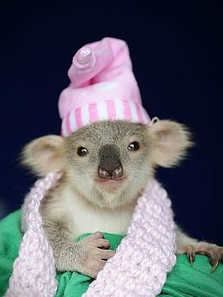 'Blondie Bumstead' the cute koala joey gets clean bill of health after dog attack