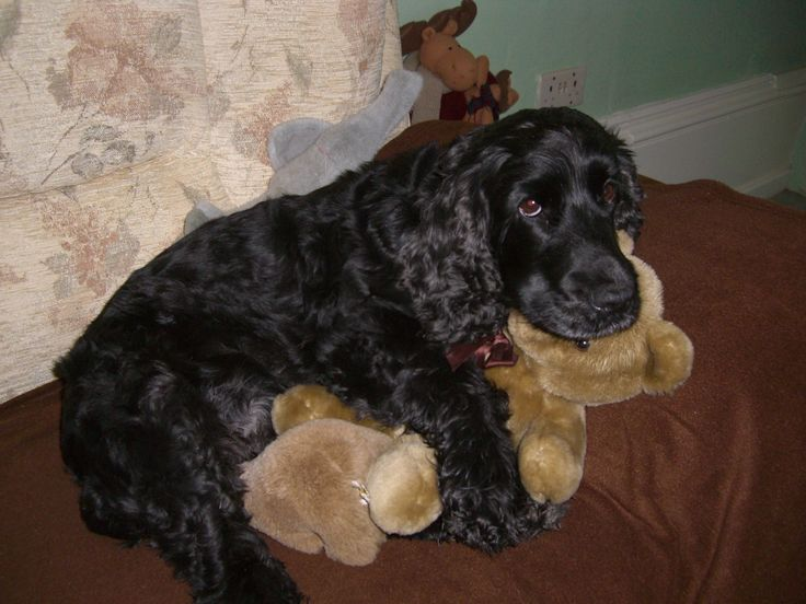 English Cocker Spaniel.....bundles of energy, intelligence and loyalty.....and incredible hunting buddies!