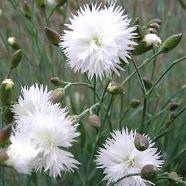 Dianthus Albus Plenus