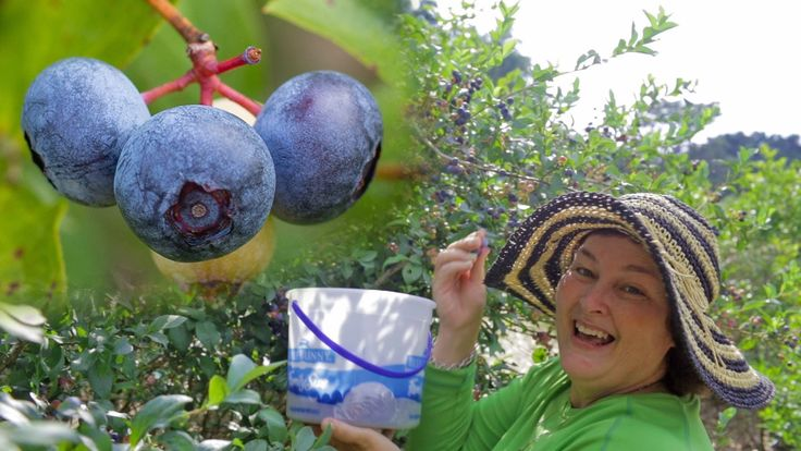 U Pick Blueberries. Becky Visits A Blueberry Farm.  http://prepperhub.org/u-pick-blueberries-becky-visits-a-blueberry-farm/