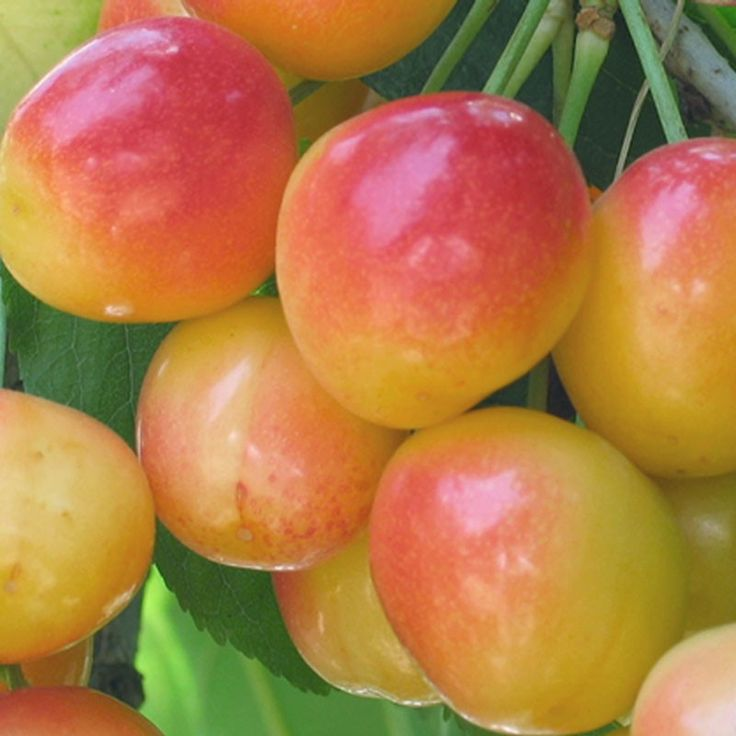 Rainier cherry tree (dwarf) $19.99, zone 5-9, 700 chill hours, 05/20 to 06/10 harvest, yellow/red blush fruit, sweet flavor, pollinated by Van, Black Tartarian, or Bing