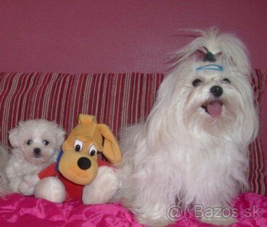 maltezáčik, maltézsky psík, maltezák - 1