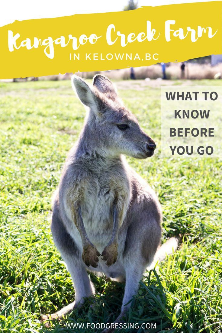 On your next visit to Kelowna, you might just want to hop on over to the Kangaroo Creek Farm. Here are some things to know before you go. #Kangaroo #travelblogger #kelowna